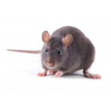 Крыса подросток