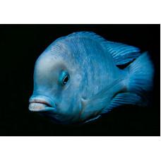 Голубой дельфин 5-6см