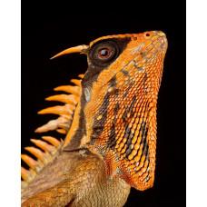 Акантозавр Натали