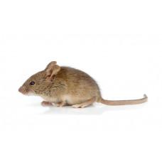 Мышь подросток (бегунок)